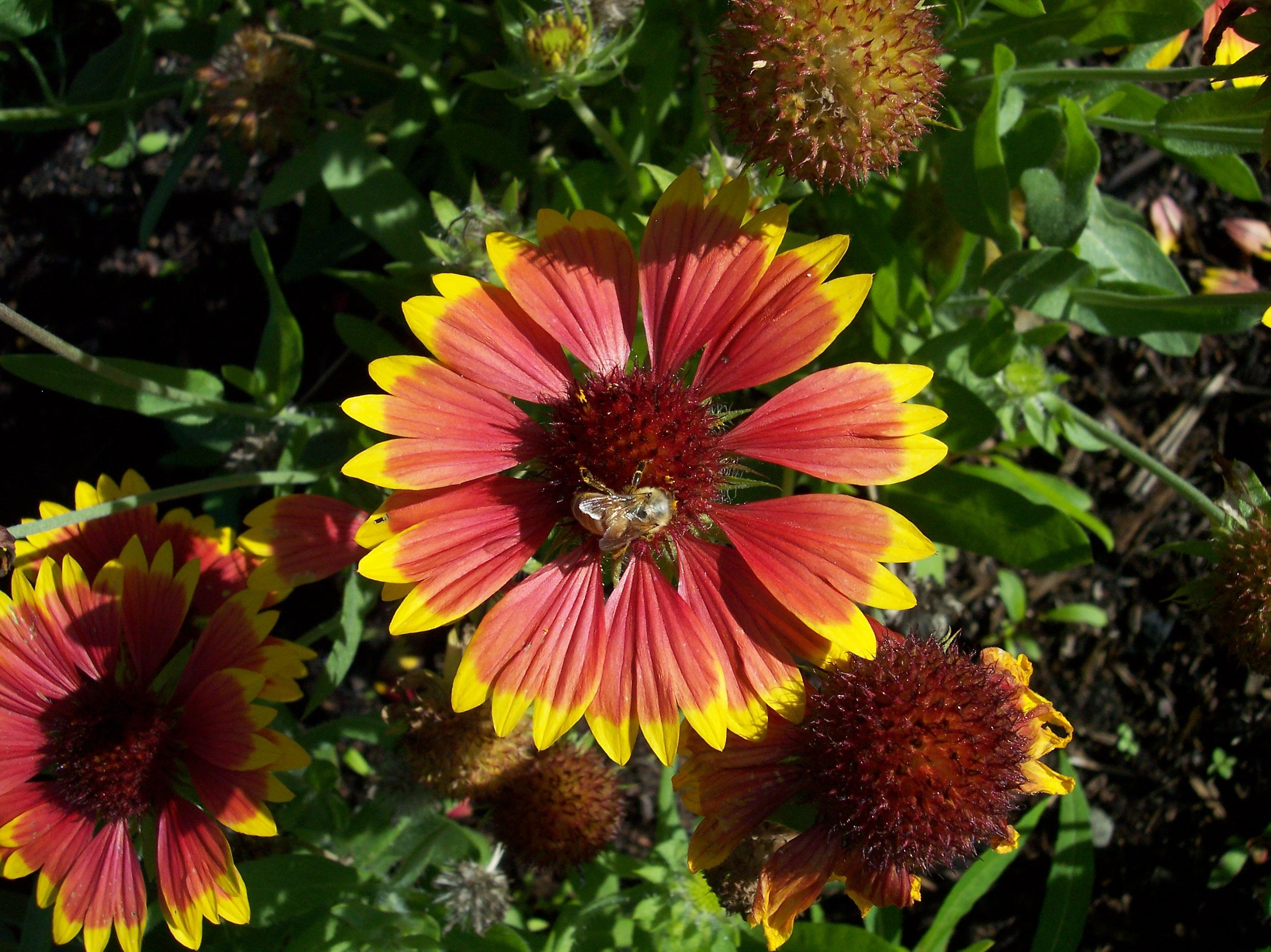 Honeybee on Gaillardia