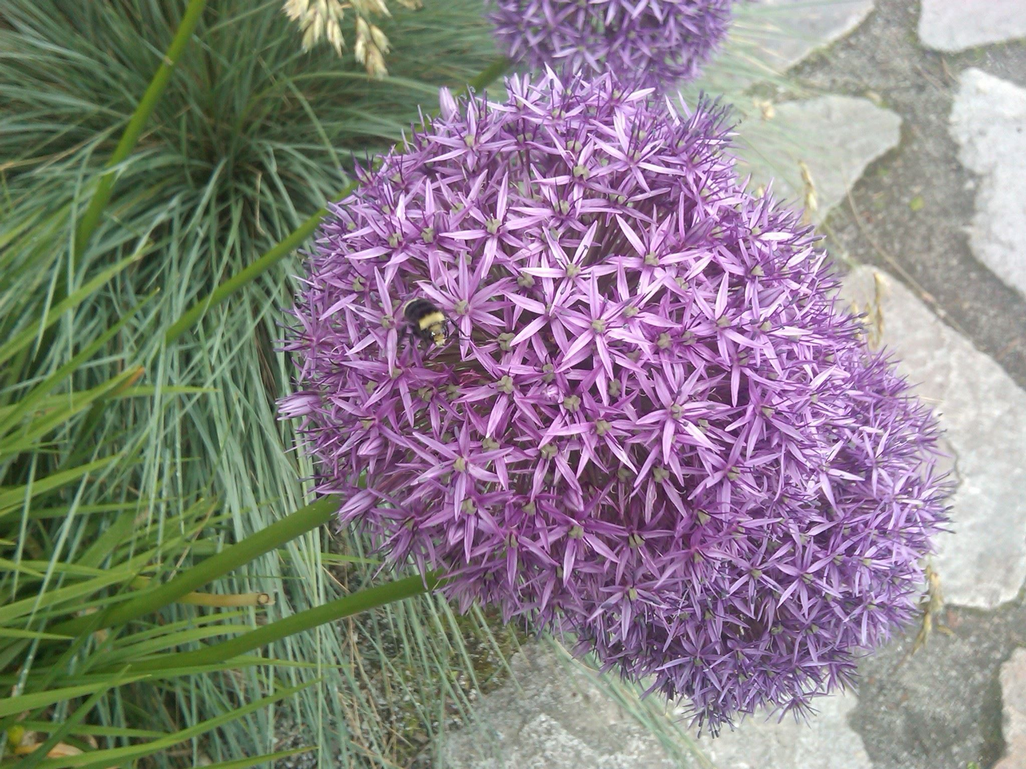 Bumblebee on Allium